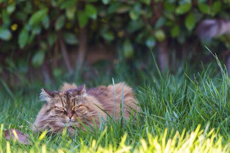 Siberian cat in relax in a garden, pet of livestock 版權商用圖片