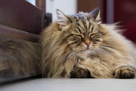beautiful long haired cat of siberian breed lying in relax 版權商用圖片