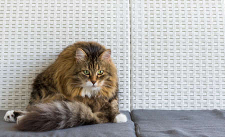 Adorable brown tabby cat of siberian breed sitting on a white sofa