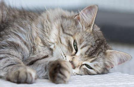 Adorable silver cat of siberian breed lying on a white sofa 版權商用圖片
