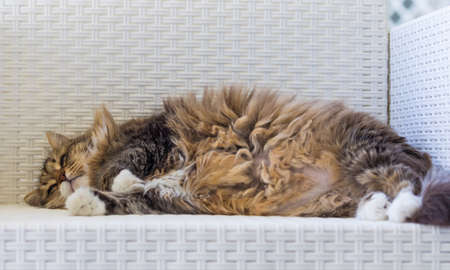 Adorable brown cat of siberian breed lying on a white sofa