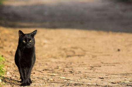 Nice black cat on a country road at the sunset,