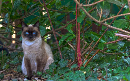 Beautiful siamese cat with a wonderful blue eyes under a plant