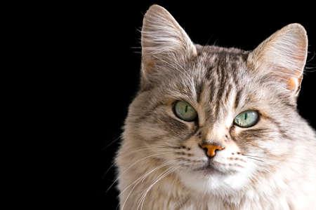Pretty silver cat on a dark blackground, siberian purebred female
