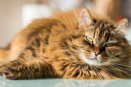 Long haired cat face with brown hair lying on a glass table, siberian breed