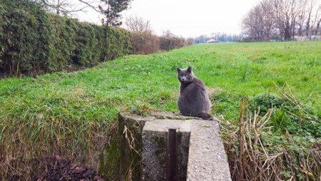 Beautiful furry cat in a farm, blue color Stock Photo