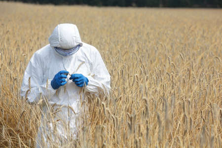 biotechnology engineer on field examining ripe ears of grain photo