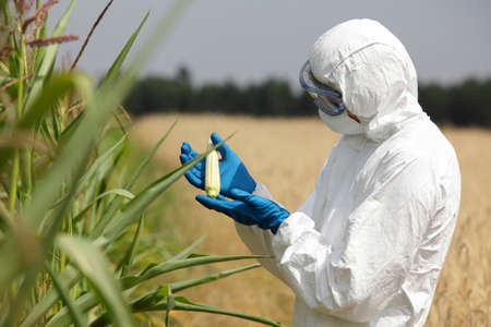 biotech: scientist examining immature corn cob on field Stock Photo