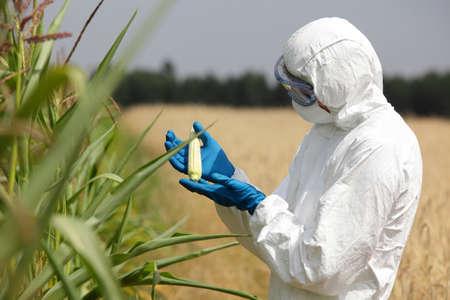 Wissenschaftler untersuchen unreife Maiskolben auf dem Feld Lizenzfreie Bilder
