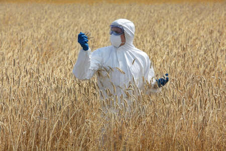 genetically modified: agricultural engineer on field examining ripe ears of grain