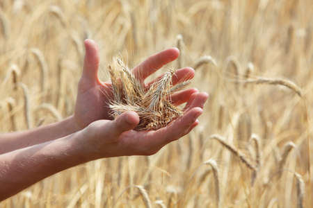 non: ears of rye on hands, blur rye filed