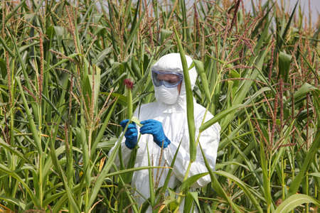 gmo - profesional in coveralls examining corn cob on field