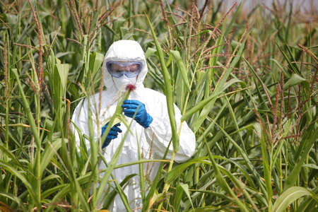 genetically modified: gmo - profesional in coveralls examining corn cob on field