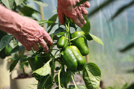bush pepper: Cultivation - senior farmer examining green pepper bush with peppers - close up Stock Photo