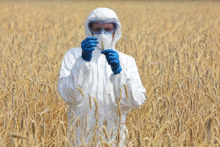 genetically modified crops: agricultural engineer on field examining ripe ears of grain Stock Photo