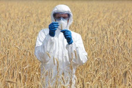 overol: ingeniero agrícola en el campo de examinar los oídos maduros del grano Foto de archivo