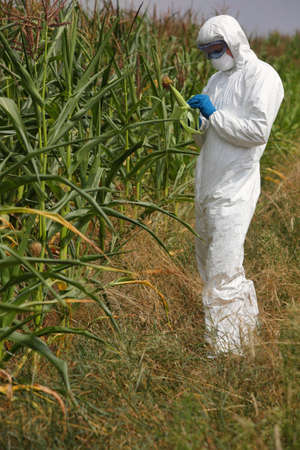 genetically modified crops: specialist in white uniform examining corn cob on field
