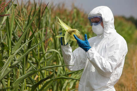 genetically modified crops: engineer  examining corn cob on field