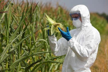 planta de maiz: ingeniero examinar la mazorca de maíz en el campo