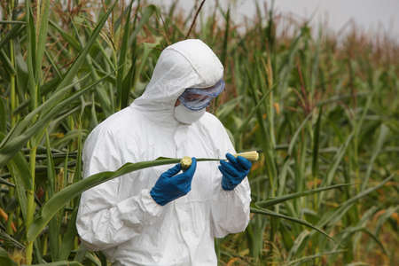 genetically modified crops: scientist examining immature corn cob on field Stock Photo