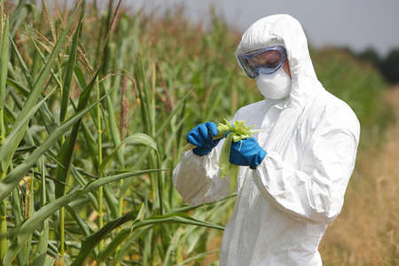 genetically modified crops: professional in uniform goggles,mask and gloves examining corn cob on field Stock Photo