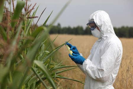 elote: profesional en gafas uniformes, máscara y guantes de examen de la mazorca de maíz en el campo