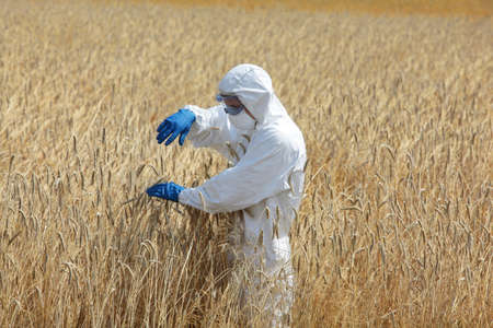 scientific farming: biotechnology  engineer on field examining ripe ears of grain