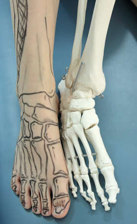 human foot with drawing bones on the skin and model of human foot - comparison