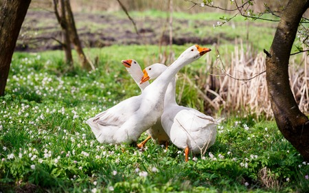 stroll: Three white geese walking in a spring garden