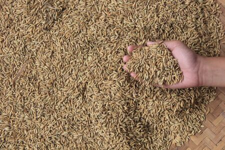 raw rice seeds in the palm of your hand