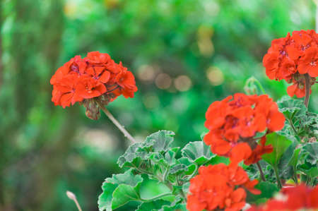 pelargonium: beautiful red pelargonium flowers