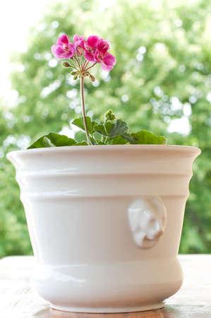 pelargonium: beautiful pink pelargonium flowers