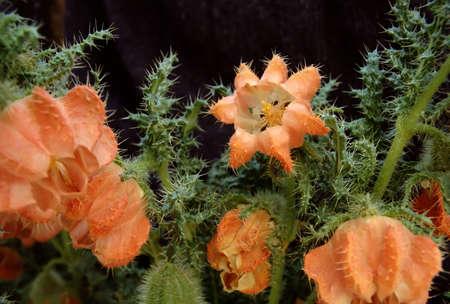Chilean altiplano wild nettle with flower photo