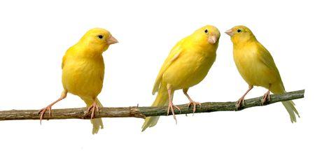 kanarienvogel: Zwei Canaries, die miteinander in Verbindung stehen, w�hrend ein Third h�rt
