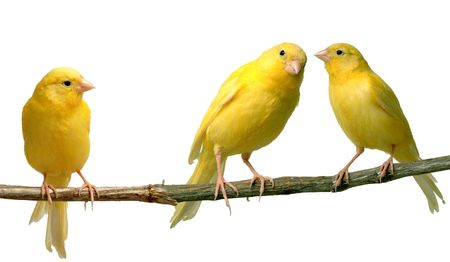 pet store: Two canaries communicating to each other while a third is listening