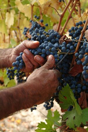Harvester hands cutting grapes photo