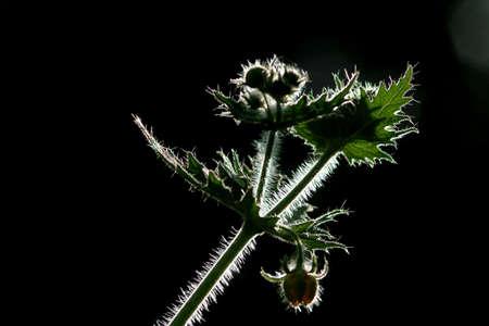 turismo ecologico: cerca y el detalle de aislados de plantas con tallo verde, hojas y yemas a la iluminaci�n en un fondo borroso