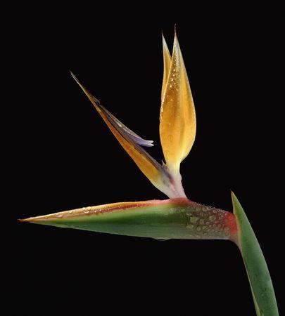 Strelitzia reginae over black background photo