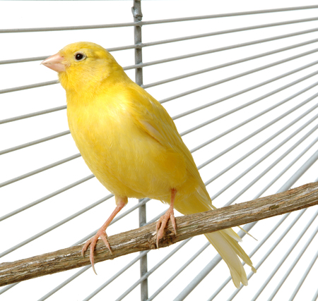 kanarienvogel: ein gelber Kanarienvogel in seinem K�fig
