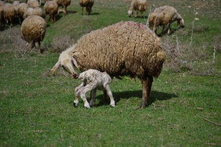 ovčí maso a mléko jsou užitečné zvíře