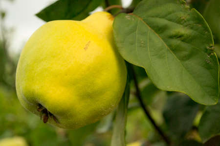 quince is an important winter fruit for health