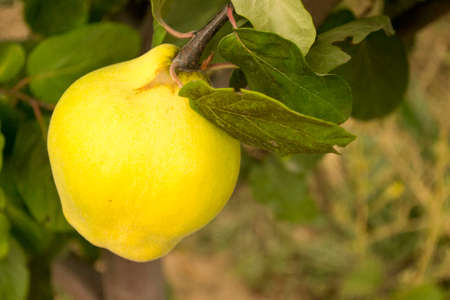 golden apple: quince is an important winter fruit for health