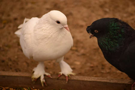 flocks: Pigeon is an addictive addiction to people Stock Photo
