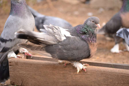 Pigeon is an addictive addiction to people Stock Photo