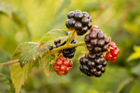 Blackberries, fruits with high antioxidant