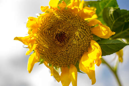 A beautiful yellow sunflower, closeup