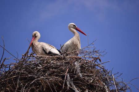 Storks spring news reporter migratory birds