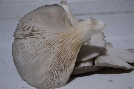 the fungus is rich in nutrients rich in protein Stock Photo