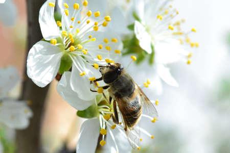 Honey bees pollinate flowers Honey bees pollen honey Imagens