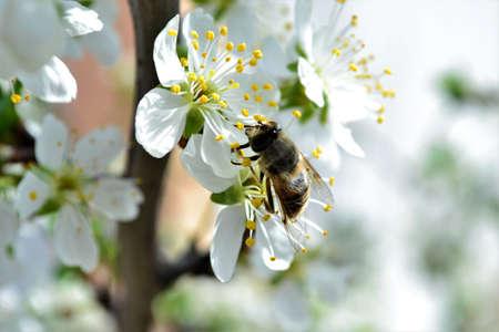 Honey bees pollinate flowers Honey bees pollen honey Banco de Imagens
